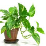 money-plant
