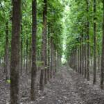 teakwood-trees-500x500