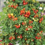 Solanum lycopersicum Micro Tom